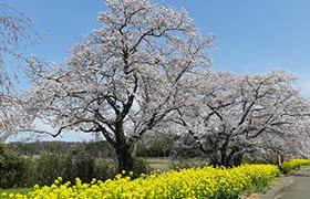 Ugawa Inishie Sakura