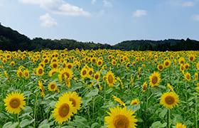 Seiryo Sunflowers