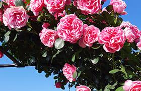 Friendship Rose Garden